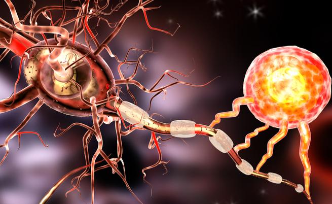 É uma bactéria que vem do intestino para nos proteger contra a esclerose múltipla